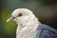 A white headed pigeon. This is a close up of a white headed pigeon royalty free stock photos