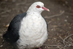 White headed pigeon. This is a close up of a white headed pigeon royalty free stock photo