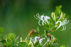Close-up of white honeysuckle or woodbine flowers on green blurry background with placeholder stock image