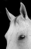 Close up of a white horse Stock Images