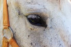 Close up of white horse eye Royalty Free Stock Photos