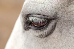 Close-up of white horse face with black bridle and long eyelashes.  Stock Photos