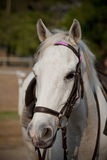 Close up white horse face on location Royalty Free Stock Photos