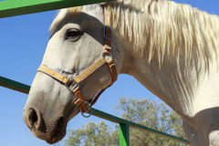 Close-up of white horse head behind a green fence Royalty Free Stock Photos