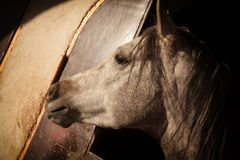 Close Up of White Horse in the Stable Lit by Warm Light of Sun Stock Image
