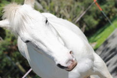 Close Up of White Horse. A close up a white horse taken on an angle stock photography