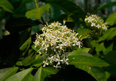 Close up of white ixora flower Royalty Free Stock Photography