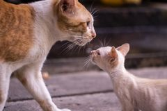 Close up white kitten is looking at mother cat for love stock photography