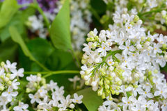 Close up of white lilac flowers Royalty Free Stock Photos