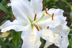 Close up of white lilies flower Royalty Free Stock Photography