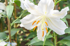 Close up of white lilies flower Royalty Free Stock Photo