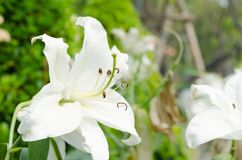 Close up of white lilly in garden at flower festival Chiangmai,Thailand. royalty free stock images
