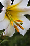 Close up on white Lily Royalty Free Stock Images