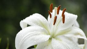 Close up white lily stock footage