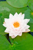 Close up white lotus. Micro white lotus in the pool Royalty Free Stock Images