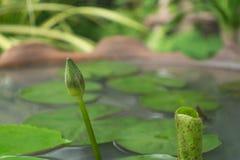 Close up White Lotus. Close up beautiful White Lotus Royalty Free Stock Photography