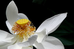 Close up of White lotus Stock Photography