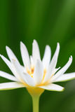 Close up white lotus blossom Royalty Free Stock Photo