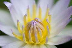 Close-up of White Lotus Flower with green leaf. In pond royalty free stock image