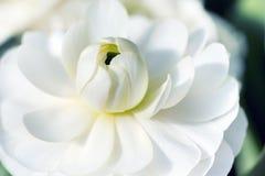 Close up of white lotus flower. Macro detail of blooming white lotus flower Royalty Free Stock Image