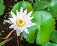 Close up white lotus flower Royalty Free Stock Images