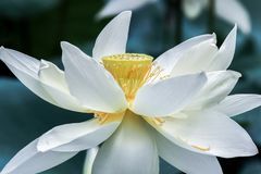 Close up of white lotus flower with yellow stamen. Close up of blooming white lotus flower with yellow stamen stock image
