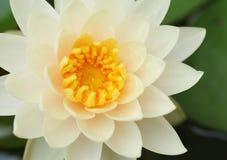 Close up of white lotus Stock Image