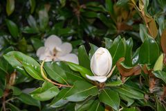 Close-Up Of White Magnolia Flower, among the green leaves of its tree. Close-up of white Magnolia flower blooming on the tree surrounded by glossy green leaves stock photo