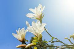Magnolia kobus   flower plant. Close-up  of white Magnolia kobus   flower plant against clear blue sky during spring  . VIntage warm filter royalty free stock image