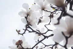 Close-up of white Magnolia tree blossoms. Royalty Free Stock Images