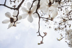 Close-up of white Magnolia tree blossoms. Royalty Free Stock Image