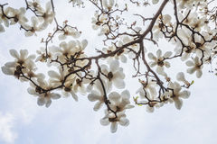 Close-up of white Magnolia tree blossoms. Royalty Free Stock Photography