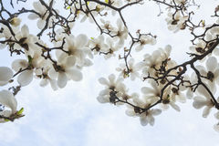 Close-up of white Magnolia tree blossoms. Stock Photo