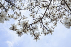Close-up of white Magnolia tree blossoms. Royalty Free Stock Photo