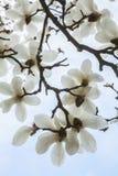 Close-up of white Magnolia tree blossoms. Stock Photo
