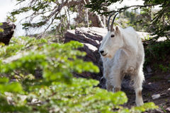 Mountain Goat Profile Stock Images