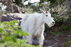 Mountain Goat Close Up Stock Photography
