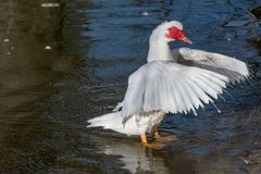 Close up of White Muscovy duck head.Selective focus Stock Photos