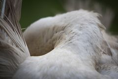 Close up of white muscovy female duck back view, cleaning itself. Close up Stock Photos