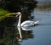 White swan and his reflection Stock Photos