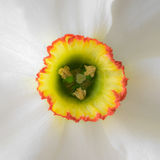 Close up white narcissus. With yellow middle Royalty Free Stock Images