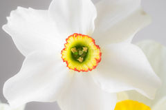 Close up white narcissus. With yellow middle Royalty Free Stock Photo