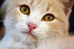 Close up of a White and Orange Baby Cat stock photos