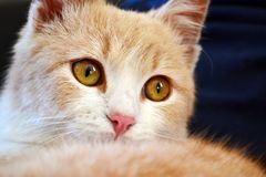 Close up of a White and Orange Baby Cat stock image