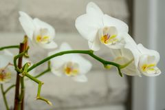 Close-up of a white orchid royalty free stock image
