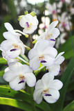 Close up of white orchid Stock Photography