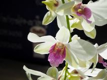 Close up of white orchid Stock Images