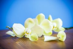 Close-up of white orchid Stock Image