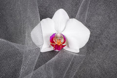 Close up of a White Orchid Flower Royalty Free Stock Image
