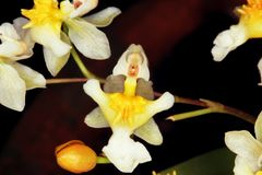 Close up of a white orchid flower. Stock Images